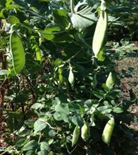 Sweat Peas