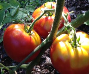 Tomato_sueblog