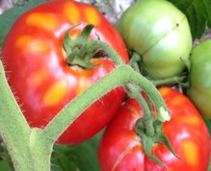 tomato_sueblog2