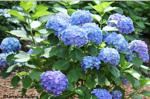 High Time For Hydrangeas Coast Of Maine Organic Products