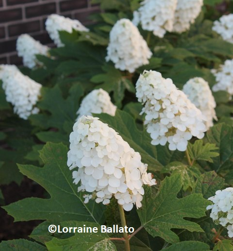 HIGH TIME FOR HYDRANGEAS - Coast of Maine Organic Products