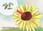 Saving sunflower seeds