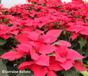 poinsettia, taking care of holiday plants
